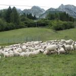 agnello alpago